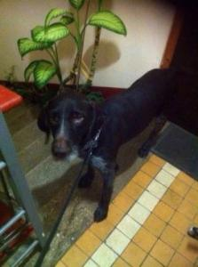 Пропала собака породы дратхаар