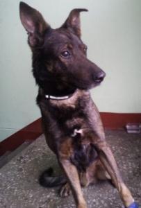 Найден пес среднего размера, трех или четырех лет