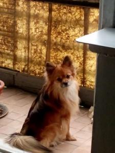 Пропала собака, любимец семьи