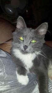 Найден котёнок серого окраса